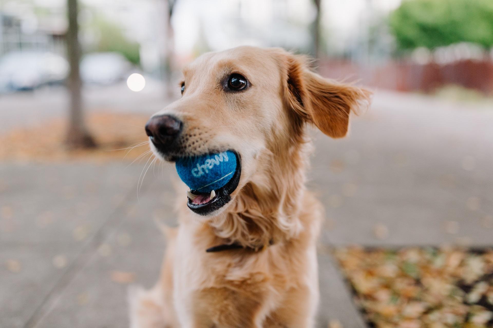 Golden retriever biting blue ball